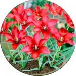 Тюльпани Ботанічні
