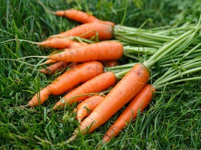 Посадка моркви на зиму в Україні