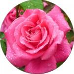 Чайно-гібридні троянди (63)