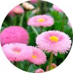 Насіння дворічних квітів (12)