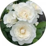 Флорібунда троянди (27)