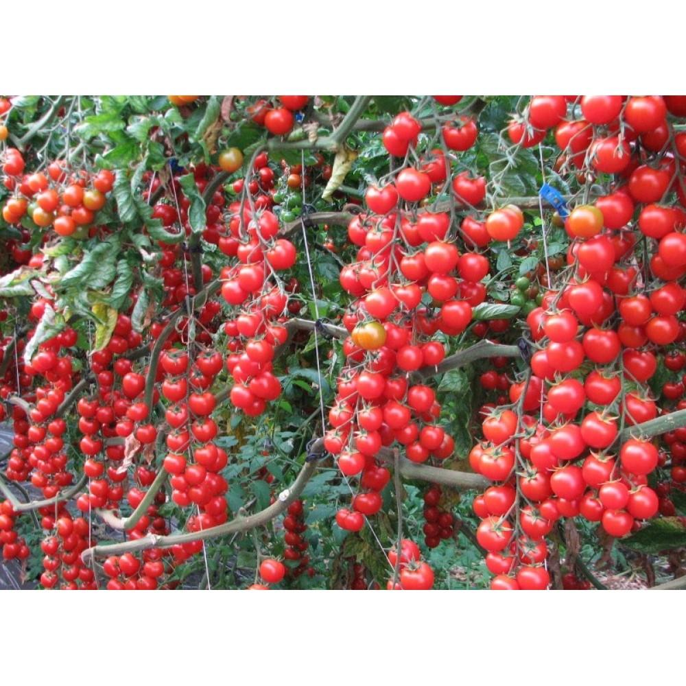 Помідор Вишня червона 0,1 г (насіння)
