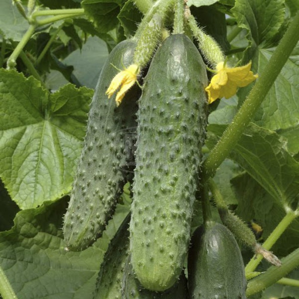Огірок Маша F1 10 шт (насіння)