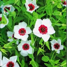 Льон великоквітковий, білий з червоним вічком 0,5 г