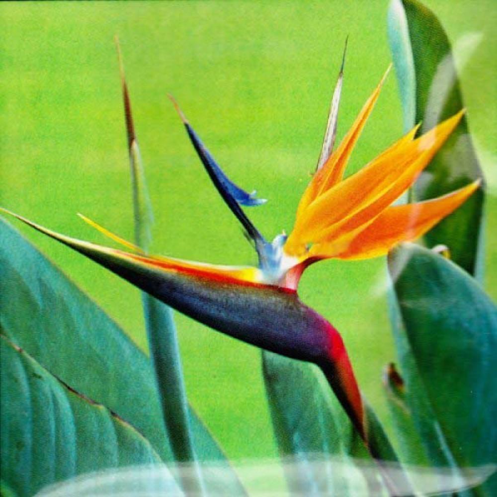 Стрелиция Райская Птица 3 шт (семена)