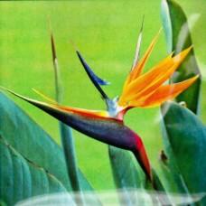 Стреліція Райський Птах 3 шт