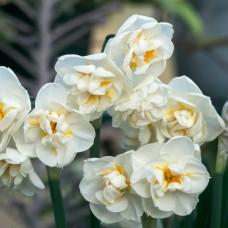 Нарцисс Bridal Crown