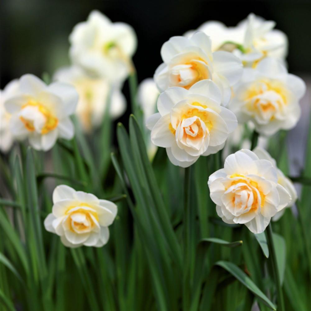 Нарцис Bridal Crown