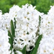 Гіацинт  White Pearl