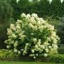 Гортензія Grandiflora (саджанець)