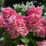 Гортензія Pink Diamond (саджанець)