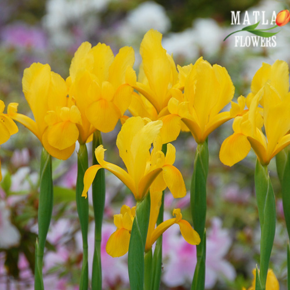 Ірис Hollandica Golden Beauty