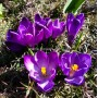 Крокус Flower Record