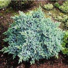 Ялівець лускатий Blue Carpet p9