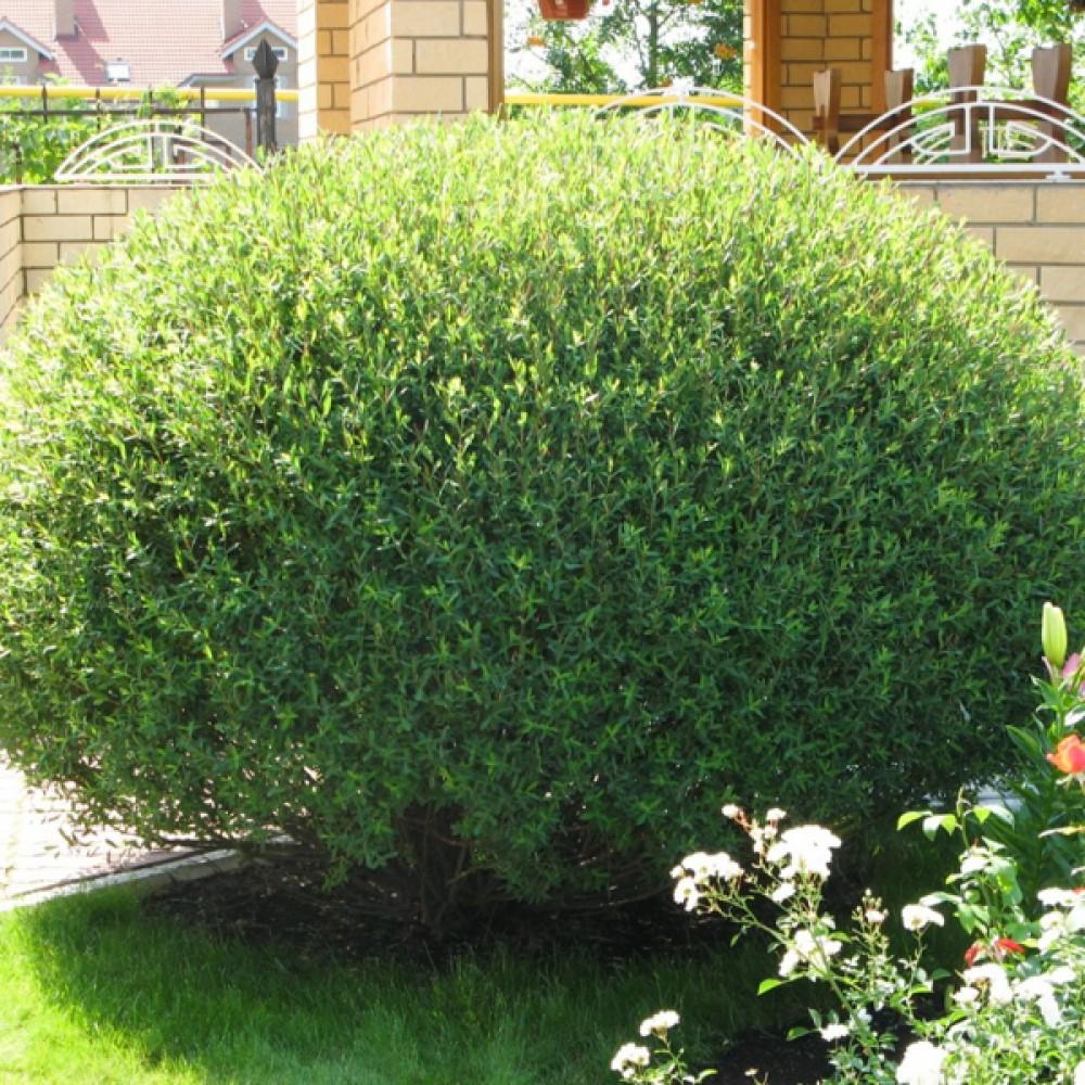 Верба Nana purpurea (саджанець)