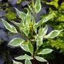 Дерен белый Sibirica Variegata (саженец)