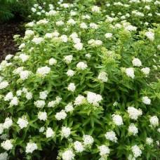 Спірея японська Albiflora p9