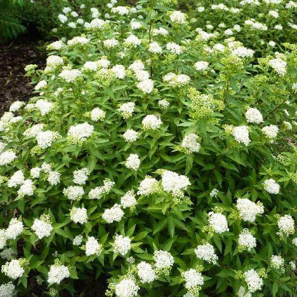 Спірея японська Albiflora (саджанець)