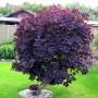 Скумпія шкіряста Royal Purple (саджанець)