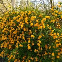 Керія японська Pleniflora