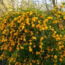 Керія японська Pleniflora p9