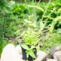 Жимолость вечнозеленая (саженец)