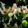 Жимолость Caprifolium (саженец)