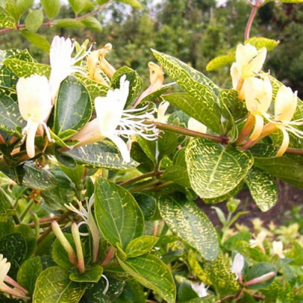 Жимолость Японська Aureoreticulata (саджанець)