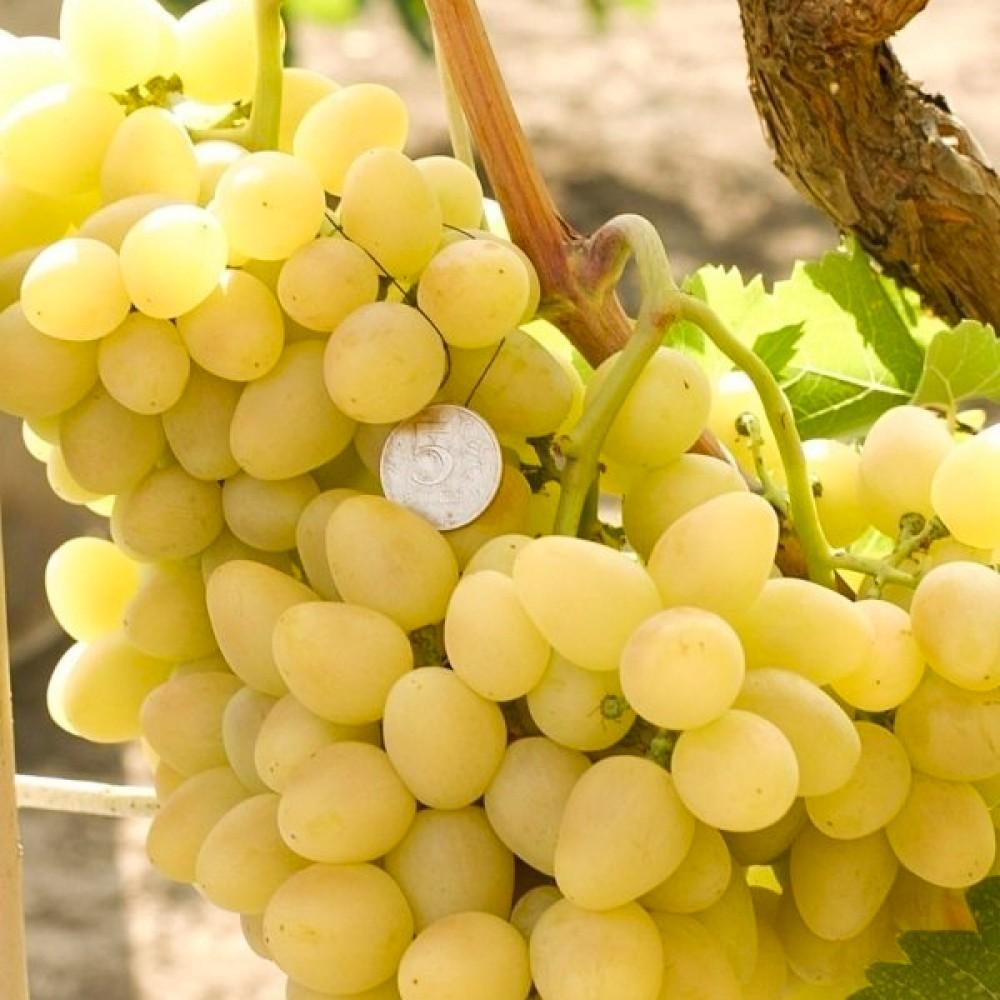 Виноград Аркадія (саджанець)