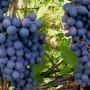 Виноград Нью-Йорк мускат
