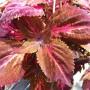Колеус Chocolate Covered Cherry в кашпо
