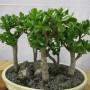 Крассула Грошове дерево (саджанець)