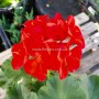 Пеларгонія Survivor Cherry Red (саджанець)