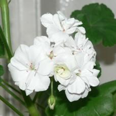 Пеларгония White Effect