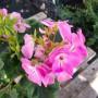 Пеларгонія Master Idols Pink (саджанець)