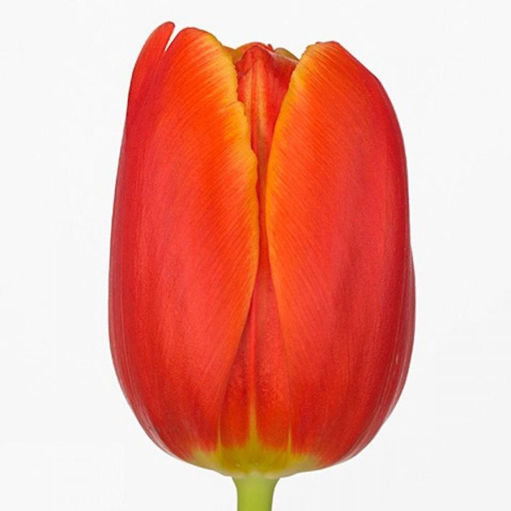 Тюльпан Esta Bonita