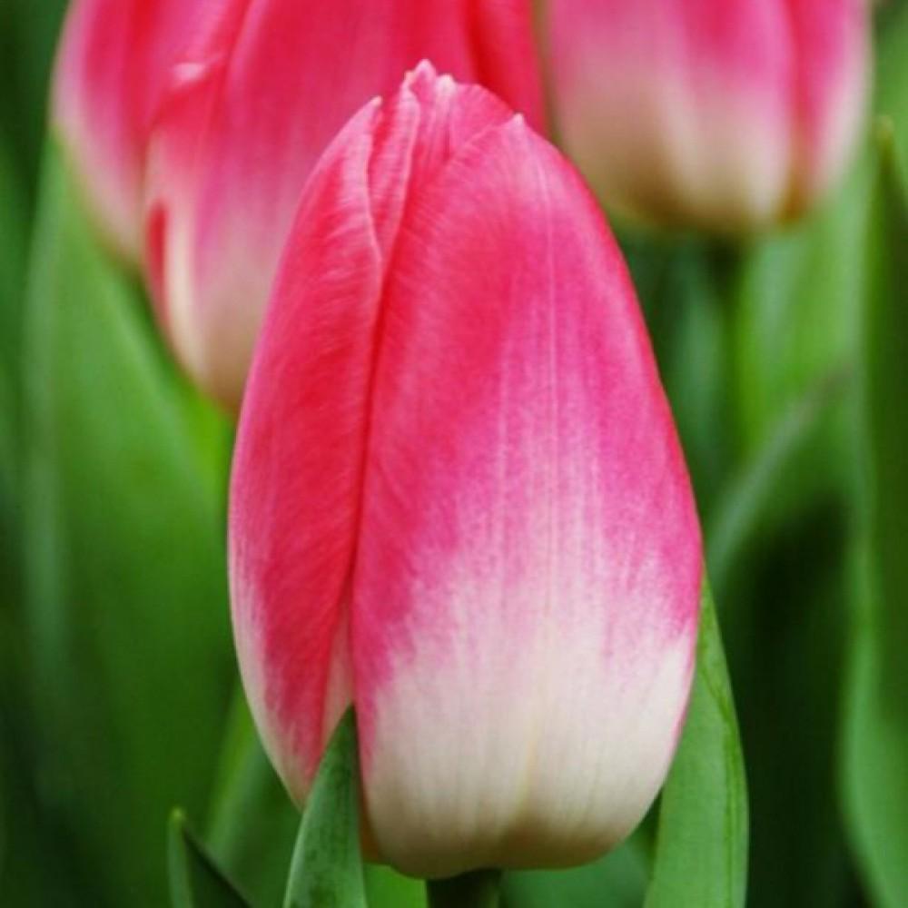 Тюльпан Dynasty