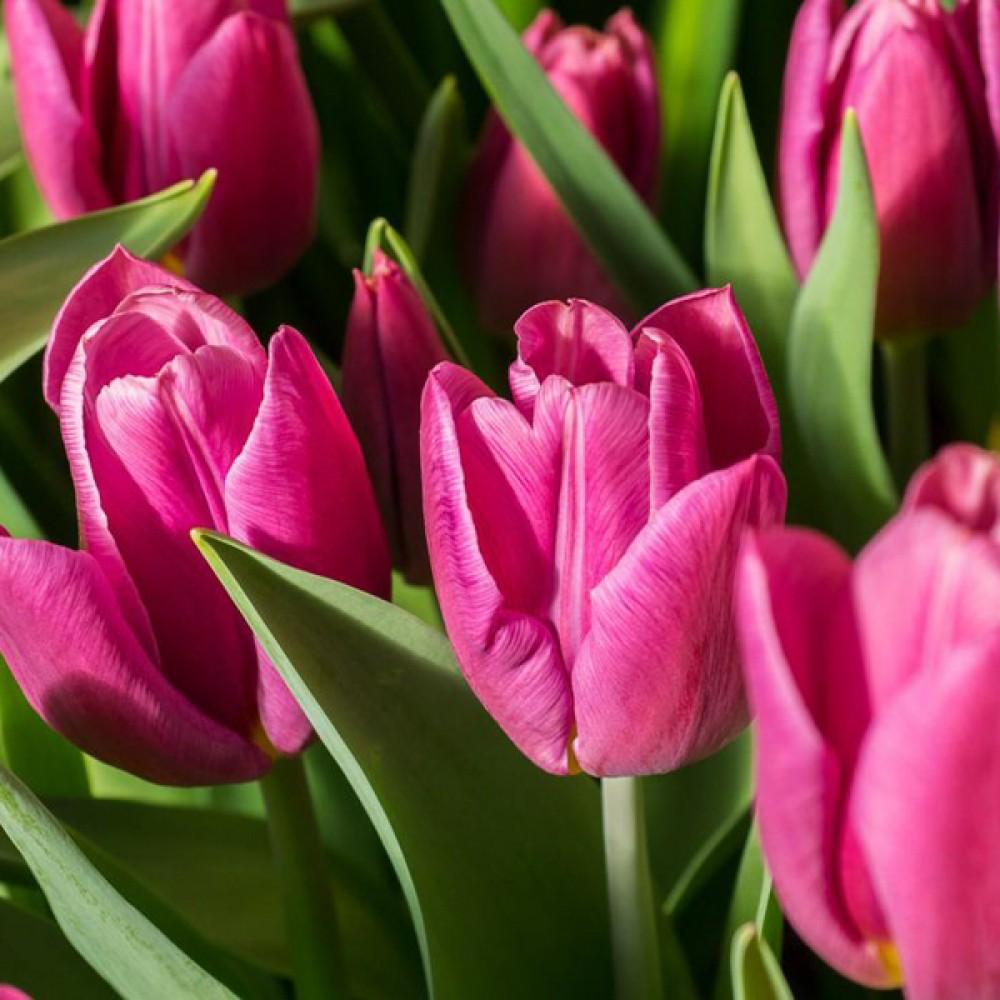 Тюльпан Jumbo Pink