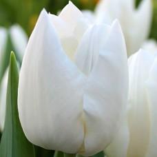 Тюльпан Snow Lady
