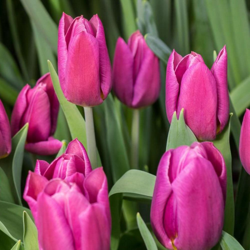 Тюльпан Copex