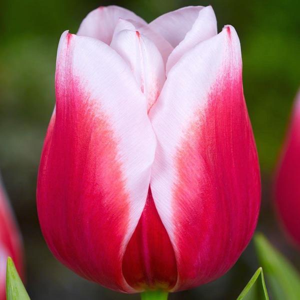 Тюльпан Dutch design