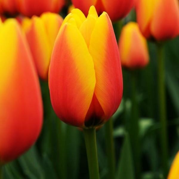 Тюльпан Hennie van der Most