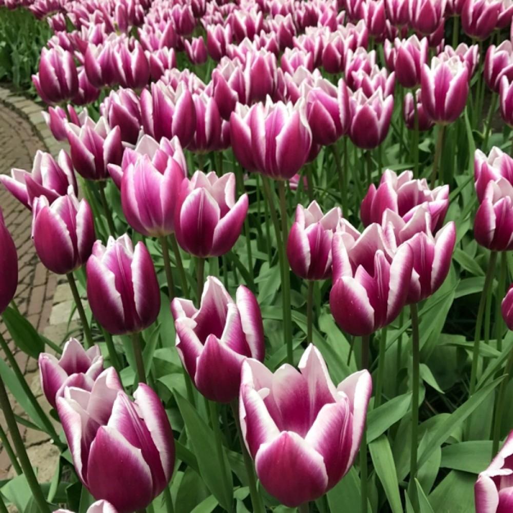 Тюльпан Synaeda Blue