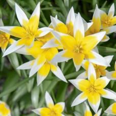 Тюльпан Tarda
