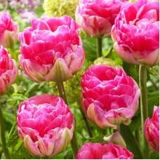 Тюльпан Up Pink