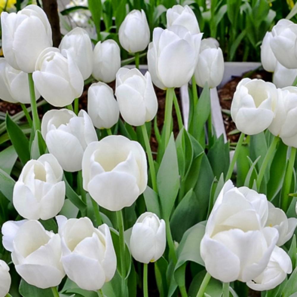 Тюльпан White Prince