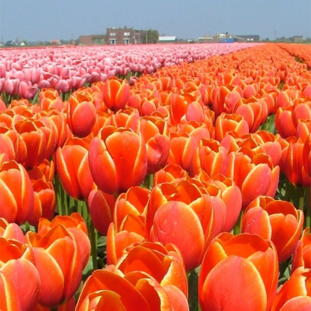 Тюльпан World's Favourite