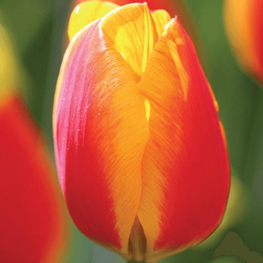 Тюльпан Flair