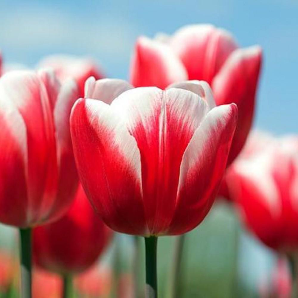 Тюльпан Timeless