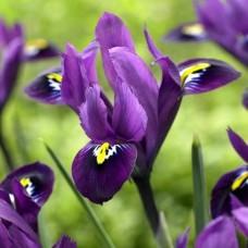 Ирис Reticulata Purple Hill